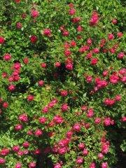 rosenbluete_1_20130808_1905266174.jpg