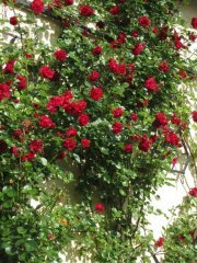 rosenbluete_2_20130808_1381944175.jpg