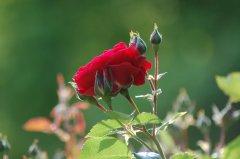 Rosenbluete-3-kl.jpg