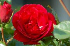 Rosenbluete-kl.jpg