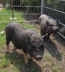minischweine.jpg