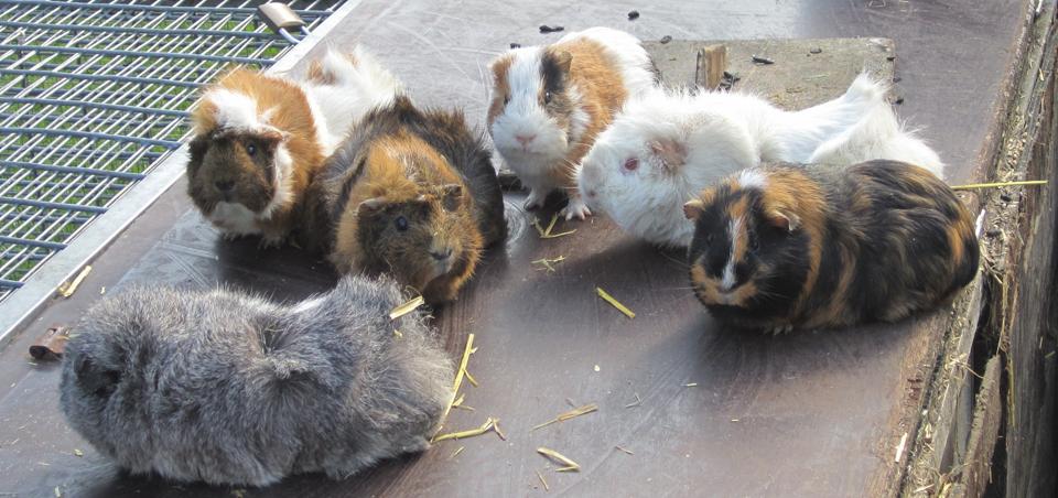 meerschweinchen.png