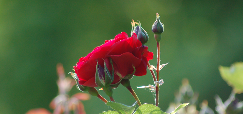 rosenbluete.png